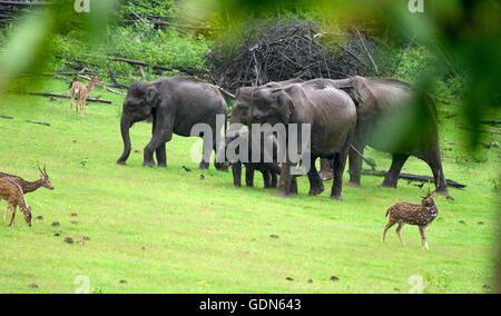 Eine Gruppe von asiatischen Elefanten mit Cub zu Fuß auf dem Rasen an einem regnerischen Tag - Stockfoto