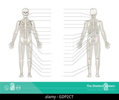 Das menschliche Skelett-System, Vektor-Illustrationen von ...