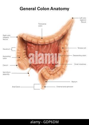 Menschliche Verdauungssystem mit Etiketten Stockfoto, Bild ...