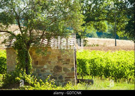 Ländliches Motiv mit Reben und Oliven Baum neben einer Steinhütte in der Toskana, Italien - Stockfoto