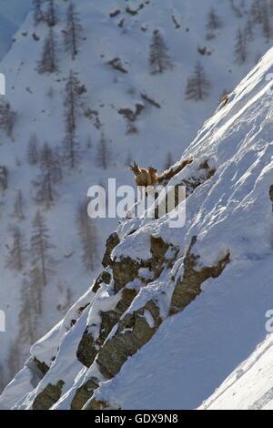 Zoologie/Tiere, Säugetier/Säugetiere (Mammalia), Steinböcke, Bergziege im Winter im Tal von Chamonix, Frankreich, - Stockfoto