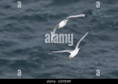 Kittiwake - Aufruf im Flug Rissa Tridactyla Halbinsel Langanes Island-BI028854 - Stockfoto