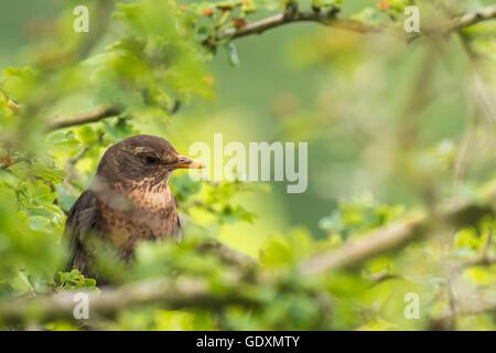 Eine weibliche Europäische Amsel (Turdus Merula) in einem Baum mit an einem klaren, sonnigen Tag im Frühling singen. - Stockfoto