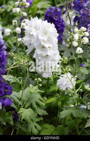 Weißen Rittersporn Blumen, Delphinium elatum - Stockfoto