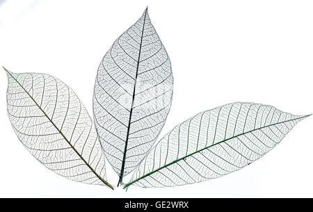 Skelette der Blätter. Isoliert auf weißem Hintergrund. - Stockfoto