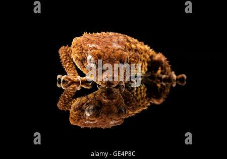 Grobe Knopf Tailed Gecko (Nephrurus Amyae) Blick auf seine Reflexion