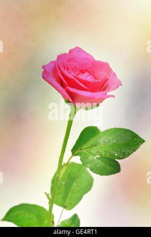rote rose Blume, Nahaufnahme - Stockfoto