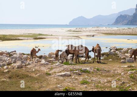 Bild der Kamele an einem Strand in Dhofar, Oman. - Stockfoto