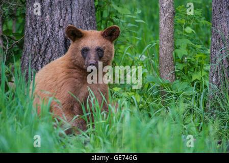 Schwarzer Bär Jährling, Zimt-Phase, am Rand der Wälder, Urus Americanus Nordamerika - Stockfoto