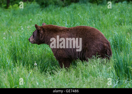 Schwarzer Bär Erwachsene, Zimt Phase, Wiese, Urus Americanus Nordamerika - Stockfoto