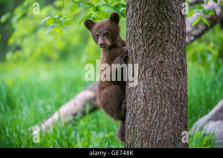 Black Bear Cub Urus Americanus Klettern Baum-Nordamerika - Stockfoto