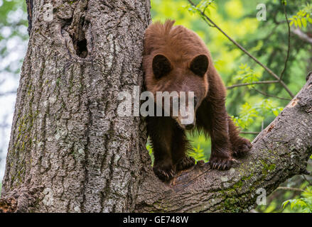 Schwarzer Bär Jährling, Zimt Phase, Urus Americanus Nordamerika Baum klettern - Stockfoto