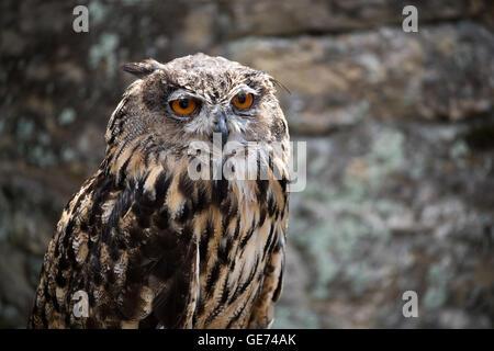 Europäische Uhu (Bubo Bubo), © Jason Richardson / Alamy Live News - Stockfoto