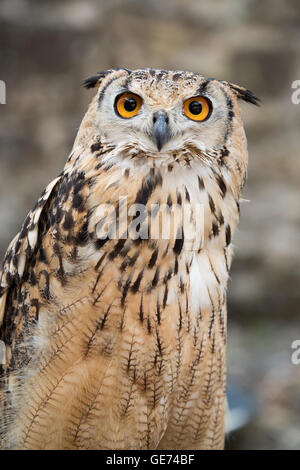 Bengalen-Uhu (Bubo Bengalensis), © Jason Richardson / Alamy Live News - Stockfoto