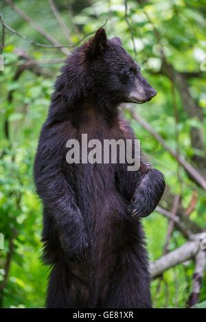 Schwarzer Bär Jährling Urus Americanus, stehend auf Hinterbeinen, Nordamerika - Stockfoto