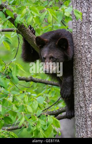 Schwarzer Bär Jährling Urus Americanus Klettern Baum-Nordamerika - Stockfoto