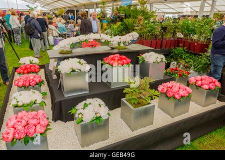 Eine bunte Pfingstrose anzeigen im floralen Festzelt beim 2016 RHS Malvern Spring Show, Worcestershire, England, - Stockfoto