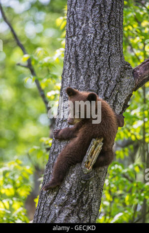 Black Bear Cub, Kletterbaum, Zimt, Urus americanus, Nordamerika - Stockfoto