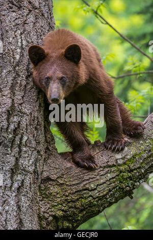 Schwarzer Bär Jährling, Zimt Phase, Urus Americanus in Nordamerika Baum stehend - Stockfoto