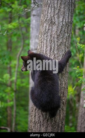 Schwarzer Bär Jährling, Baum Urus Americanus Klettern Nordamerika - Stockfoto