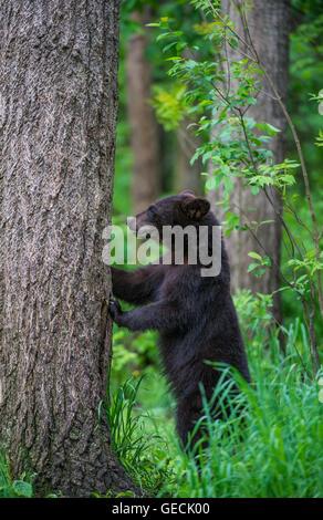 Schwarzer Bär Jährling Urus Americanus, krallte sich Baumstamm, Nordamerika - Stockfoto