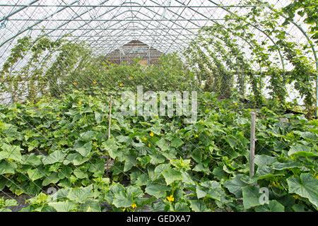 Tunnel, Gurken Pflanzen, Hopfen klettern, Heilpflanzen im Hintergrund. - Stockfoto