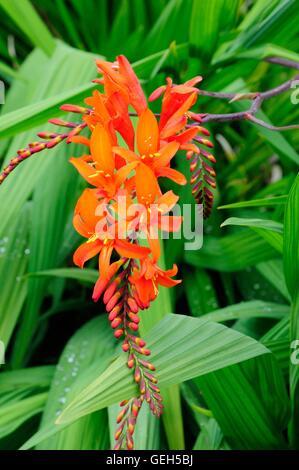 Nahaufnahme von Crocosmia Eifer unbenannt orange Blumen - Stockfoto