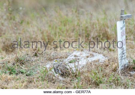 Kanincheneule sucht alarmiert, indem was er sieht - Stockfoto