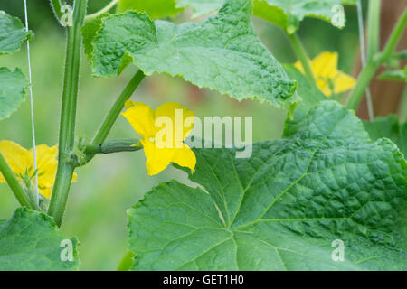 Cucumis Sativus. Gurken-Blumen am Rebstock in einem Gewächshaus. UK - Stockfoto