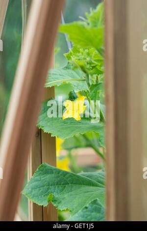 Cucumis Sativus. Gurke Blume am Rebstock in einem Gewächshaus - Stockfoto