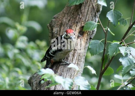 Größere gefleckte Specht am Baum - Stockfoto