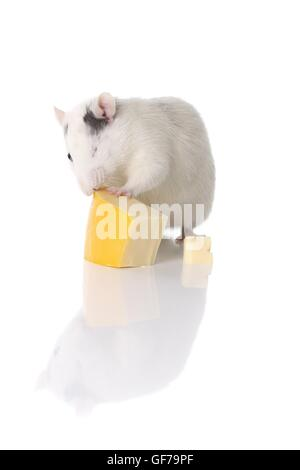 ausgefallene Ratte mit Käse - Stockfoto