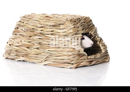 ausgefallene Ratte auf weißem Hintergrund - Stockfoto