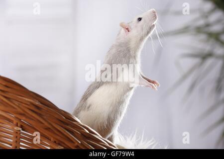 ausgefallene Ratte - Stockfoto