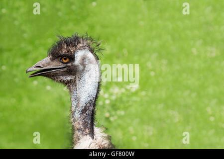 Ein Emu am Toronto Zoo, Canada. - Stockfoto
