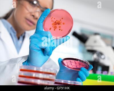 EIGENTUM FREIGEGEBEN. -MODELL VERÖFFENTLICHT. Wissenschaftler untersuchen mikrobiologische Kulturen in einer Petrischale. - Stockfoto