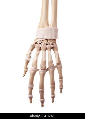 Menschliche Hand Bänder, Abbildung Stockfoto, Bild: 112680809 - Alamy