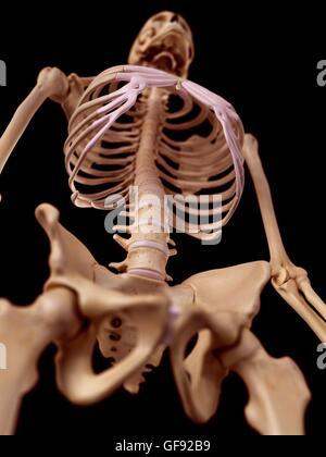 Niedrigen Winkel Blick auf ein menschliches Skelett-Systems ...
