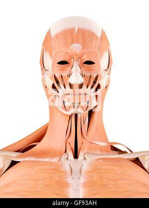 Anatomie des menschlichen Gesichts und des Halses Muskeln ...