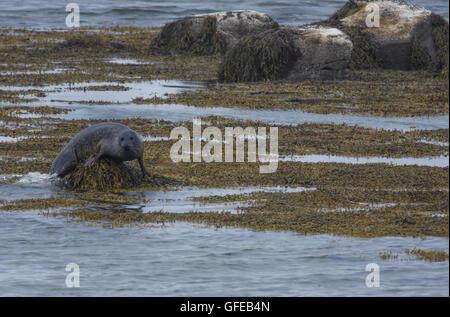 Seehunde in den Gewässern des Skotur-Fjord in der Nähe von Litlibaer, westlichen Fjorde, Island - Stockfoto