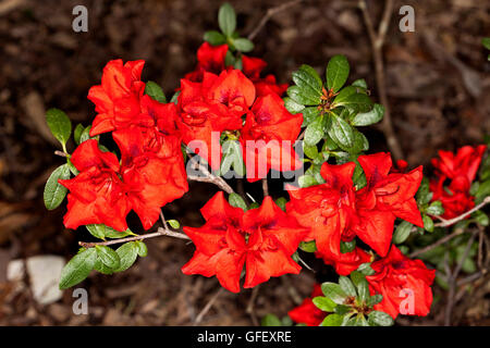 rotes immergr n azalea blumen und pflanze stockfoto bild 104354288 alamy. Black Bedroom Furniture Sets. Home Design Ideas