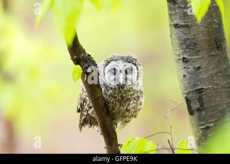 Getränkten junge Streifenkauz abtrocknen seine Federn beim stillstehen auf Zweig - Stockfoto