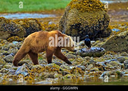 Zoologie/Tiere, Säugetier/Säugetiere (Mammalia), Küsten Grizzly Bär und Raven, auf der Suche nach Essen bei Ebbe - Stockfoto