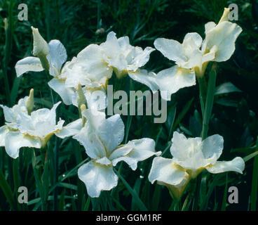 Iris Sibirica - 'White Swirl' PER030148 - Stockfoto