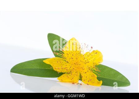 Isolierte Blüte einer Blume hypericum - Stockfoto