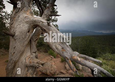 Einen alten Toten Baum auf einem Grouse Mountain in Colorado Mueller State Park. - Stockfoto