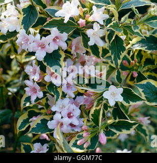 Weigela - 'Florida Variegata' AGM TRS023624 - Stockfoto