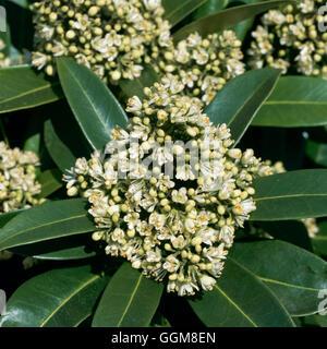 Skimmia X confusa-'Kew Green' AGM (männlich) TRS101132 - Stockfoto