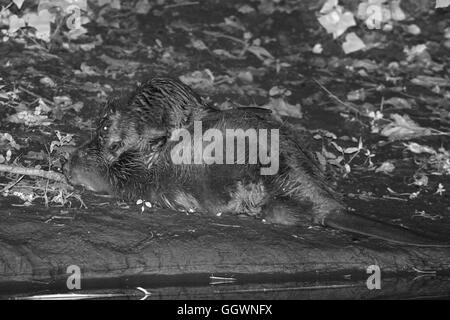 Eurasische Biber (Castor Fiber) Mutter liegt am Ufer des River Otter in der Nacht als eines ihrer Kits Anstiege - Stockfoto
