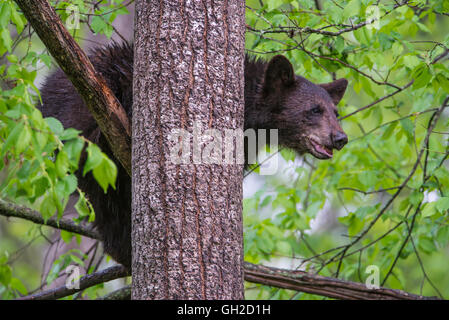 Black Bear jährling Urus americanus, ruht auf Branchen, in Baum, Nordamerika - Stockfoto